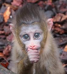 mandrill artis 094A0650 (j.a.kok) Tags: mandril mandrillussphinx mandrill mandrillbaby babymandrill animal artis africa afrika aap mammal monkey primate primaat zoogdier dier
