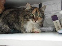 Tiki- 1 and a half year old spayed female