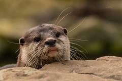 Otter (THW-Berlin) Tags: animals tiere sony alpha6500 otter fischotter natur