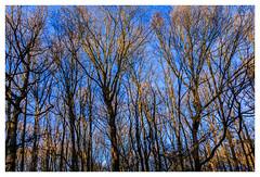 Bathing in the sun (cstevens2) Tags: antwerpenprov belgique belgium belgië europe flanders flandre hetziel kalmthout landschap vlaanderen blauwelucht bluesky bomen trees