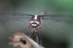 close-up (Phil Arachno) Tags: vietnam odonata insecta arthropoda cattien libelle