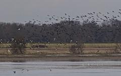 Vanneau huppé, Ibis falcinelle, Grande aigrette, Tadorne de belon  - IMG_5670 (6franc6) Tags: occitanie languedoc gard 30 petitecamargue janvier 2019 6franc6 vélo kalkoff vae