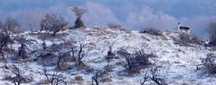 20190131-1019-20 (Don Oppedijk) Tags: awd amsterdamsewaterleidingduinen fallowdeer damhert snow sneeuw