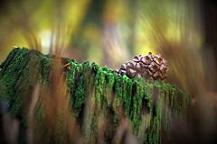 Alone (annazelei) Tags: macro wood woods forest tree moss color colours nature natural autumn otono fall november alone singly canon eos pov dof cone pine pineal conifer pinewood naturephotography botanical flora green yellow brown wald flickr