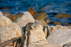 Squirrel by the Sea (Eric Bloecher) Tags: squirrel resting rock rocks ocean monterey california animal wildlife nature texture rodent