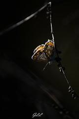 Cuivré commun (Gurvan_Photographie) Tags: photographie photography insects insect butterfly papillon macro nikond610 nikon france wildlife wild bretagne animals nature photoanimalière photographieanimalière