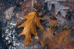 Lapham Delafield Segments Ice Age Trail-25.jpg (NetAgra) Tags: kettlepond waukeshacounty frosty orange color autumn frozen iceagetrail wisconsin leaves cold novermber brown fall oak red