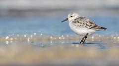 Sanderling (cliveyjones) Tags: sanderling shorebird wader burnhamoverystaithe