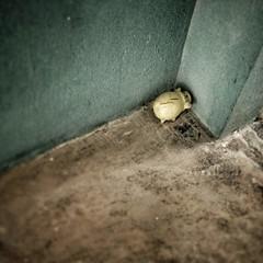 Pig in the corner