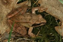 Rana dalmatina (= Rana agilis), la grenouille agile, the agile frog. (chug14) Tags: nature animalia amphibia anura ranidae ranaagilis ranadalmatina grenouilleagile agilefrog