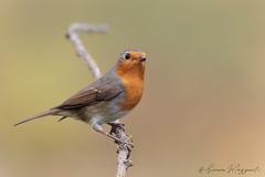 Pettirosso (Simone Mazzoccoli) Tags: nature wild wildlife birds birdwatching animals outdoor robin light winter