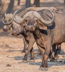 Symbiosis (Tris Enticknap) Tags: africa lowerzambezi zambia capebuffalo synceruscaffer oxpecker redbilledoxpecker