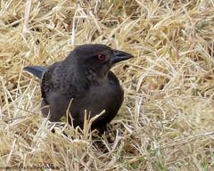 2819A Bronzed Cowbird Close-up (paule48) Tags: animal arizona brco bird bronzedcowbird rwbb songbird usa black blackbird scottsdale