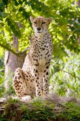 spotted poser (ucumari photography) Tags: ucumariphotography cheetah acinonyxjubatus animal mammal naples florida fl zoo november 2018 dsc1151 specanimal
