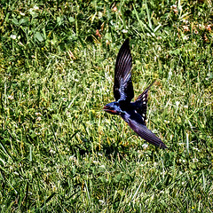 Air Brakes (Portraying Life, LLC) Tags: michigan unitedstates pentax ricoh handheld k1 da3004 hd14tc nativelighting closecrop bird inflight swallow hunting insect panning