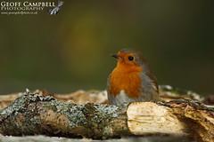 European Robin (Erithacus rubecula) (gcampbellphoto) Tags: europeanrobin erithacus rubecula bird wildlife nature avian gcampbellphoto animal outdoor songbird countyantrim northernireland