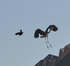 HERON,   MUSCAT,  OMAN,  ARABIA (vermillion$baby) Tags: blueheron bird muscat oman seabird seagull uae seabirds