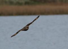 IMG_0005 (monika.carrie) Tags: monikacarrie wildlife seo shortearedowl forvie scotland owl