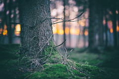 forest sunset (ChristianMandel) Tags: forest sunset tree moss hasbruch sonnenuntergang baum moos ilce7iii sonya7iii sel85f18