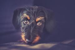 Milonga (Ro Cafe) Tags: milonga pet dog doggy teckel dachshund nikkor2470f28 nikond600