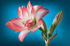 Amaryllis belladonna. Young pink flower over deep blue background. Closeup. (hoboton) Tags: amaryllis background beautiful beauty bloom blooming blossom botany bright close closeup color colorful copyspace detail dream flora floral flower garden green blue red pink leaf life macro natural nature new one open organic patterns petal plant pollen pot pretty season single spring stem up white young