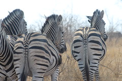 Zebras (Rckr88) Tags: krugernationalpark southafrica kruger national park south africa zebras zebra animals animal nature outdoors travel travelling wilderness wildlife