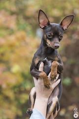 Ooligan 8 mois (Philippe Bélaz) Tags: ooligan pragois ratierdeprague animal animaux animauxdecompagnie automne chien famille portraitsanimalier