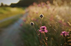(Kaska Ppp) Tags: nature naturephotography natura flower flowersphotography flora spider spiderweb road light sunlight bokeh natureisanartist