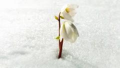 Early spring signals (Luc1659) Tags: neve primavera spring white elleboro flower garden due natureinfocusgroup