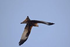 DSC_2290 Red Kite (PeaTJay) Tags: nikond750 tamron reading lowerearley berkshire outdoors nature birds birdsofprey redkite