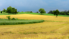 After the harvest (Valérie C) Tags: wheat field green yellow tree rural country france auvergne agriculture summer trees