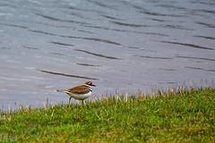 Migratory Plover, Foundation Park (thatSandygirl) Tags: bird waterbird waterfowl wadingbird water lake wildlife nature green grey brown grass outdoors park foundationpark mountvernon ohio
