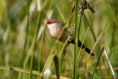 Common Waxbill (npaprock) Tags: estrildaastrild estrilda commonwaxbill waxbill oromia ethiopia africa bird