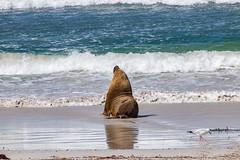 Sea Lion, Kangaroo Island, South Australia (1daveclarke) Tags: sea lion australia kangaroo island