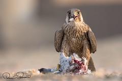 IMG-20171229-WA0024 (TARIQ HAMEED SULEMANI) Tags: sulemani tariq tourism trekking tariqhameedsulemani winter wildlife wild birds nature nikon