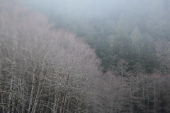 Salmon River (Tony Pulokas) Tags: salmonriver oregon forest oldgrowth douglasfir fog winter tree tilt blur bokeh alder