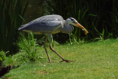 Heron eating (Franck Zumella) Tags: heron bird oiseau water eau lake lac nature animal color couleur wildlife manger eat poisson fish pecher