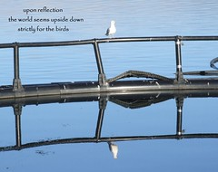 gullibility (floots in devon) Tags: poem poetry haiku sea water reflections gulls birds haiga modernhaiga