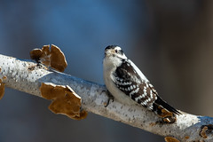 Downy Woodpecker-45432.jpg (Mully410 * Images) Tags: downywoodpecker birding birch backyard woodpecker bird birds birder birdwatching