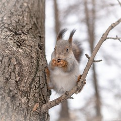 Squirrel eating nuts, ridiculous sitting in a tree (Berilyon) Tags: squirrel nut winter funny animal branch brown cute ears fluffy food forest fur habitat mammal nature park portrait ridiculous rodent small tail tree wild eat background close beautiful teeth feed furry walnut