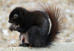 IMG_2107-1 (lbj.birds) Tags: kansas nature flinthills wildlife squirrel melanisticsquirrel melanisticeasternfoxsquirrel
