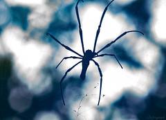 skyweb (Ignati) Tags: kinabatanganriver kinabatangan malaysia borneo sabah jungle river forest creature animal wildanimal spider web sky