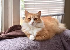 Jimmy will see you now. (rootcrop54) Tags: jimmy orange ginger tabby male cat longhair longhaired sofa window blinds neko macska kedi 猫 kočka kissa γάτα köttur kucing gatto 고양이 kaķis katė katt katze katzen kot кошка mačka gatos maček kitteh chat ネコ cc100 cc200