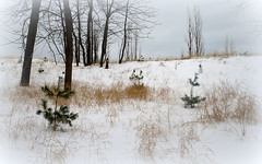 Young pines in the winter dunes (yooperann) Tags: upper peninsula michigan marquette snow grass dunes green pine trees bare branches