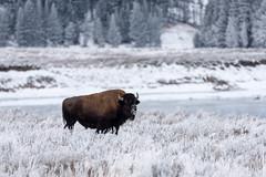 Frosty Bison ((JAndersen)) Tags: frost bison yellowstone river wyoming yellowstonenationalpark haydenvalley animal nature wildlife nikon nikkor20005000mmf56 d810 snow