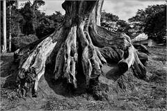 Criando Raízes (Natureza Morta) Foto Marcus Cabaleiro Site: https://marcuscabaleirophoto.wixsite.com/photos Blog: http://marcuscabaleiro.blogspot.com.br/ #muscabaleiro #paraty #rj #brasil #raiz #árvore #mono #fotografia #arte #brazil #monocolor #photograp (marcuscabaleiro4) Tags: cinquentatonsdecinza brazil brasil contraste paraty arte mono nikon olhar white blackandwhite raiz bw photographer muscabaleiro monocolor black árvore fotografia pb rj monochrome criandoraízes tonsdecinza photography naturezamorta