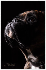 Rocky-1 (gysbrechts_joris) Tags: lowkey rocky boxer hond