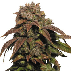 green-crack-seeds-feminized_large (Watcher1999) Tags: green crack weed seeds cannabis medical marijuana growing strain plant smoking weeds ganja legalize it