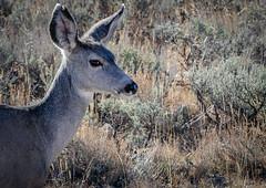 Deer (jennbastian) Tags: deer grandteton nationalparks wyoming wildlife animals mammals