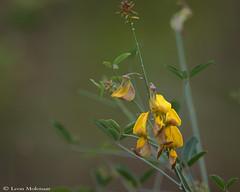 Wild Flowers (leendert3) Tags: leonmolenaar southafrica krugernationalpark wildlife nature wildflowers ngc npc naturethroughthelens